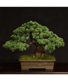 【清香園】 五葉松(中品) 模様木/鉢:下帯烏泥長方外縁