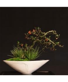 【清香園】 長寿梅・石菖(花) 斜幹/鉢:常滑変形