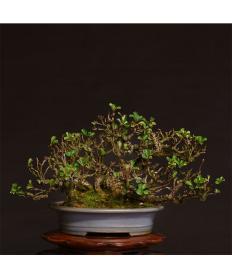 【清香園】 長寿梅(花) 株立/鉢:楕円切立下帯均窯釉
