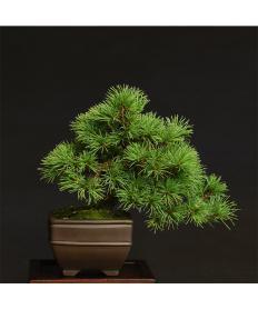 【清香園 SEIKOUEN】盆栽 BONSAI  五葉松(小品) 半懸崖/鉢:正方中帯