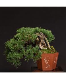 【清香園 SEIKOUEN】盆栽 BONSAI  五葉松(小品) 半懸崖/鉢:朱泥六角