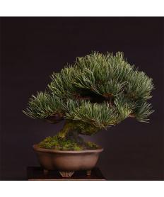 【清香園 SEIKOUEN】盆栽 BONSAI  五葉松(小品) 斜幹/鉢:木瓜雲足